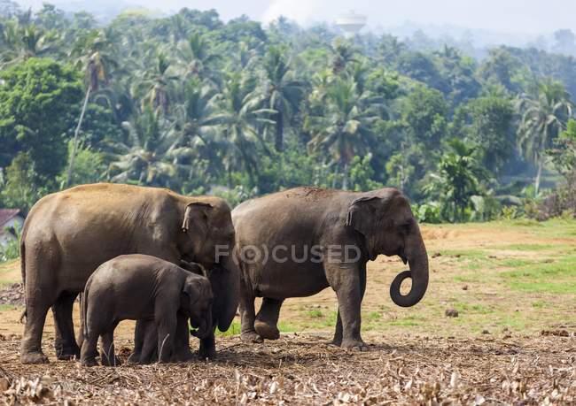 Asiatische Elefanten füttern — Stockfoto