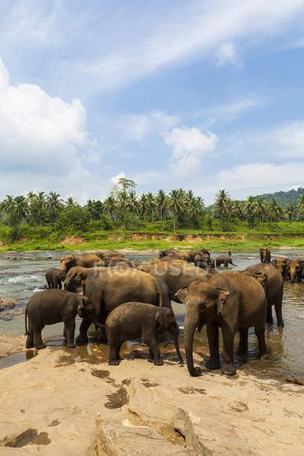 Herde von asiatischen Elefanten — Stockfoto