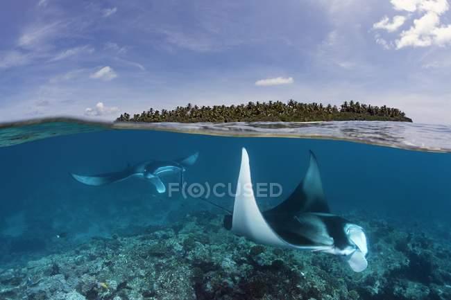 Риф скатов манта alfredi — стоковое фото