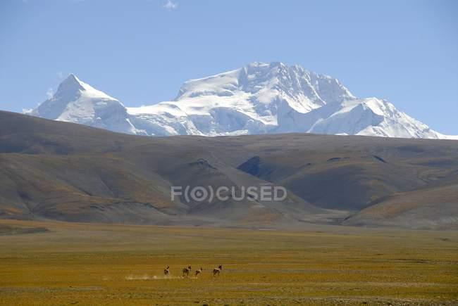 Manada pequeña del funcionamiento de asnos salvajes tibetanos - foto de stock