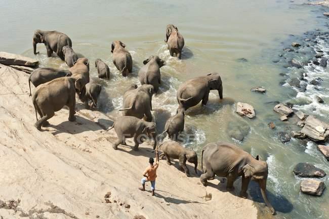 Gruppo di elefanti asiatici di fiume con l'uomo, Pinnawala, Sri Lanka — Foto stock