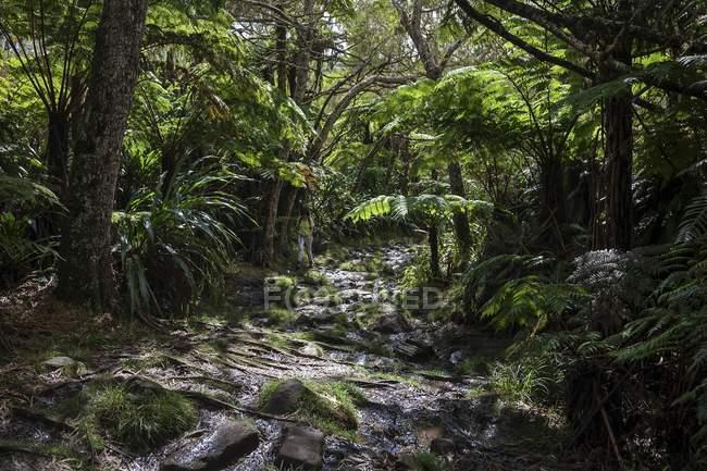 Стежка, вологих тропічних лісів — стокове фото