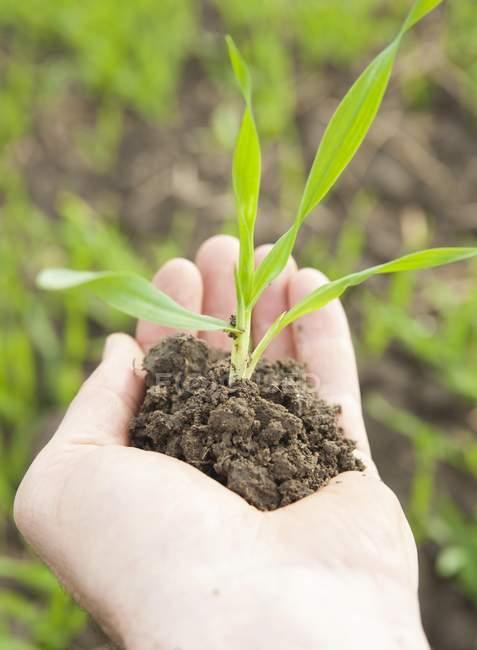 Male hand holding corn seedling — Stock Photo