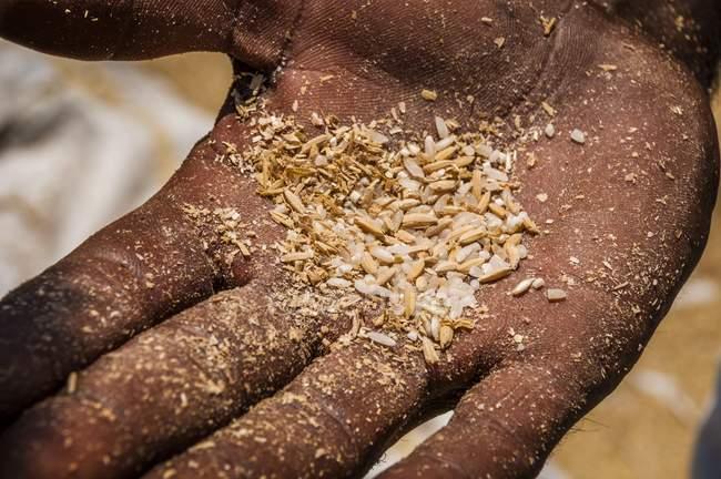 Grãos de arroz indiano segurando debulhado — Fotografia de Stock
