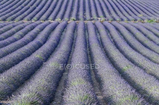 Lavender field on plateau of Valensole — Stock Photo