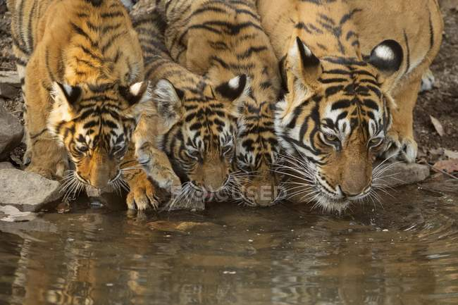 Tigre selvaggia con acqua potabile cuccioli da stagno — Foto stock