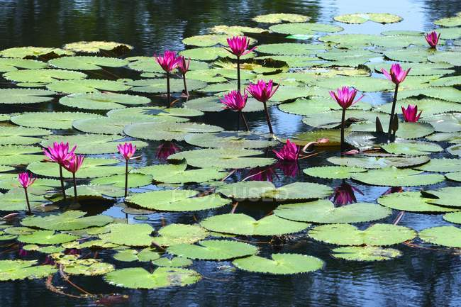 Lotus flowers and leaves in water — Stock Photo