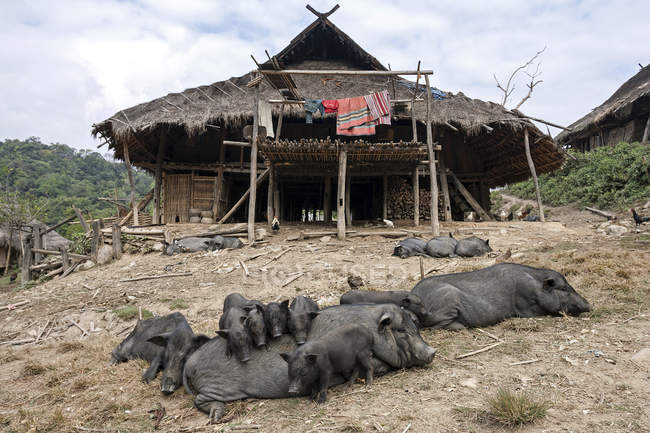 Typical longhouse of Loi in mountain village Wan Sen with pigs in front near Kyaing Tong, Myanmar, Asia — стоковое фото