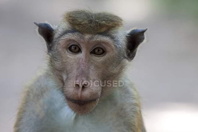 Portrait de macaque à Toque à huis clos à la recherche — Photo de stock
