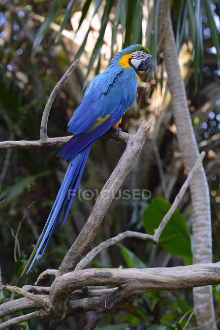 Blue-and-yellow macaw sitting on tree in tropical forest. — стокове фото