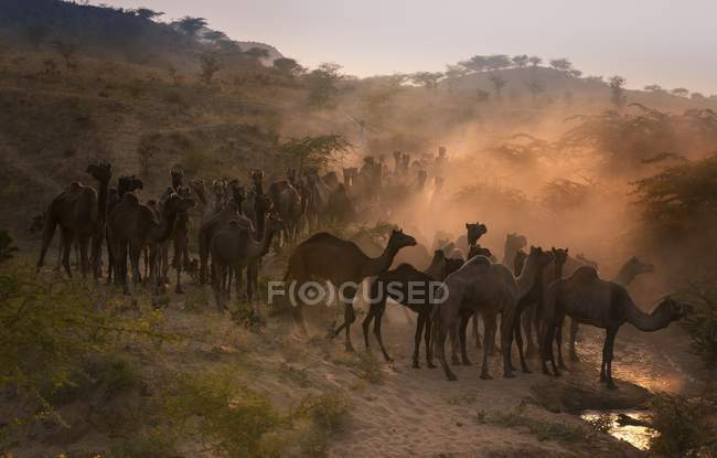 Camels on way to Pushkar Mela with camels in Rajasthan, India, Asia — Stock Photo