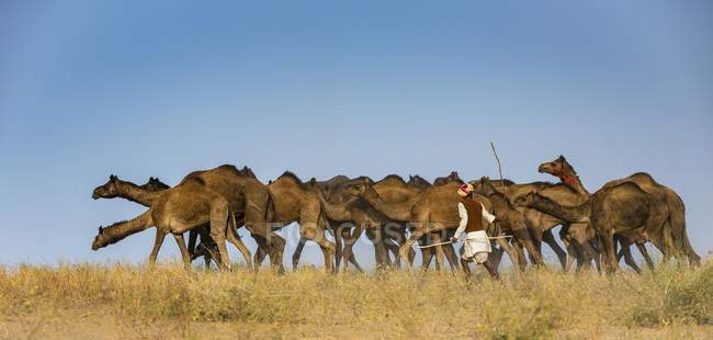 Cammelliere sul modo di Pushkar Mela con i cammelli in Rajasthan, India, Asia — Foto stock