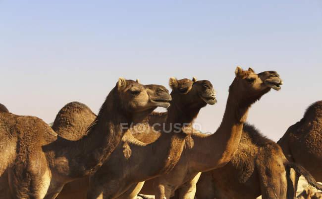 Mercato di dromedari sul cammello, Jaisalmer, Rajasthan, India, Asia — Foto stock