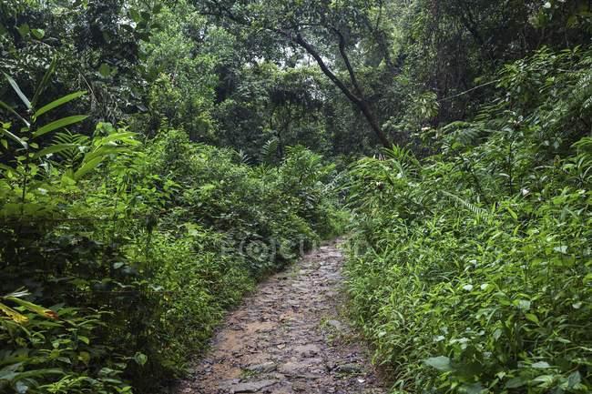 Шлях через Тропічна рослинність, Sinharaja лісового заповідника, Шрі-Ланка, Азії — стокове фото