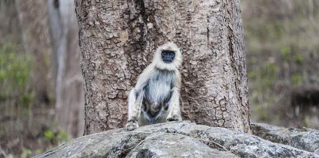 Серый лангур обезьяна сидит на камне в заповедник дикой природы — стоковое фото