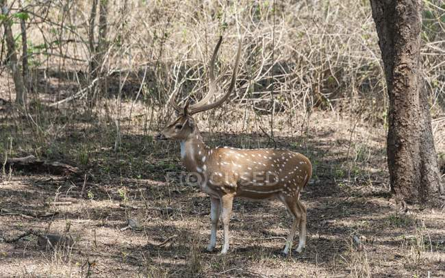 Chital deer in forest of Tamil Nadu, India, Asia — Stock Photo