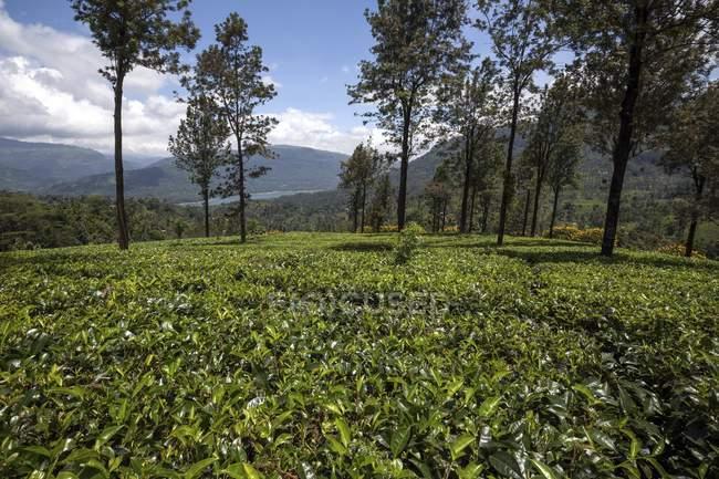 Piantagione di Highlands di piante da tè Glenloch Tea Factory, Thawalanthenna, Sri Lanka — Foto stock