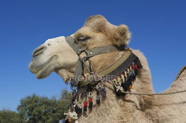 Profilo di cammello con briglia, Bukhara, Uzbekistan, Asia — Foto stock