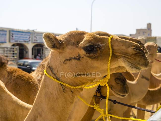 Arabo dromedari al mercato del bestiame in Sinaw, Oman, Asia — Foto stock