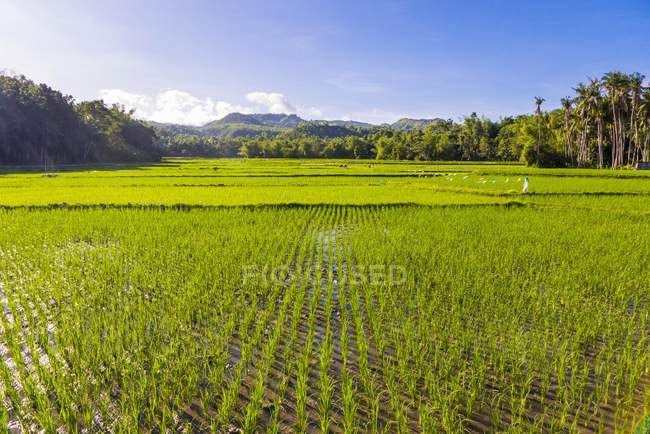 Green rice fields on Siquijor island, Central Visayas, Philippines, Asia — Stock Photo