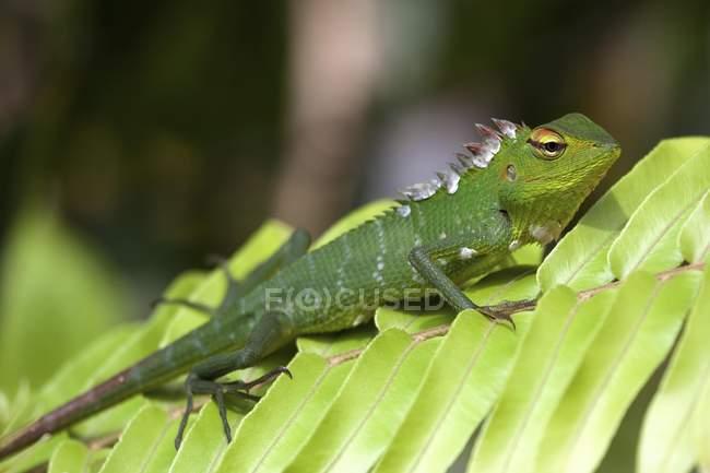 Lucertola comune foresta verde sulla filiale di fogliame nella riserva naturale di Sinharaja, Sri Lanka — Foto stock