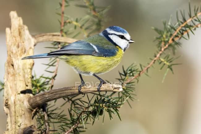 Blue tit sitting on coniferous branch, close-up — Foto stock
