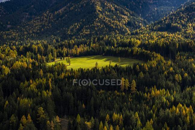 Larch forest in autumn in South Tyrol, Italy, Europe — Stock Photo
