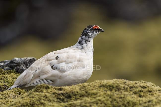 In piedi di uccello pernice bianca sul terreno muscoso della roccia — Foto stock