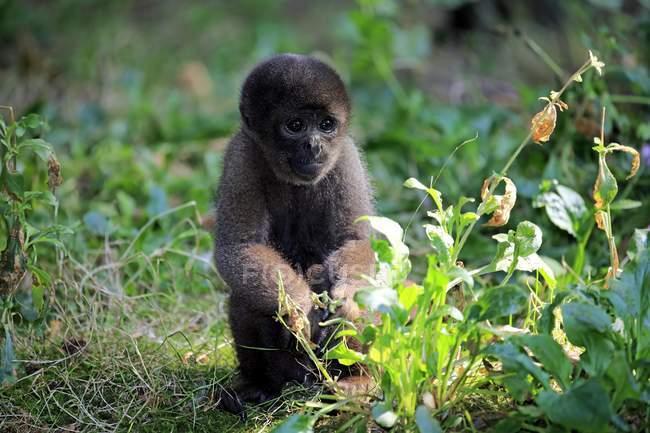 Macaco de lã marrom sentado na grama no jardim zoológico — Fotografia de Stock