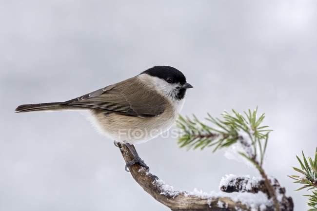 Cincia bigia seduto sul ramo d'inverno, close-up — Foto stock