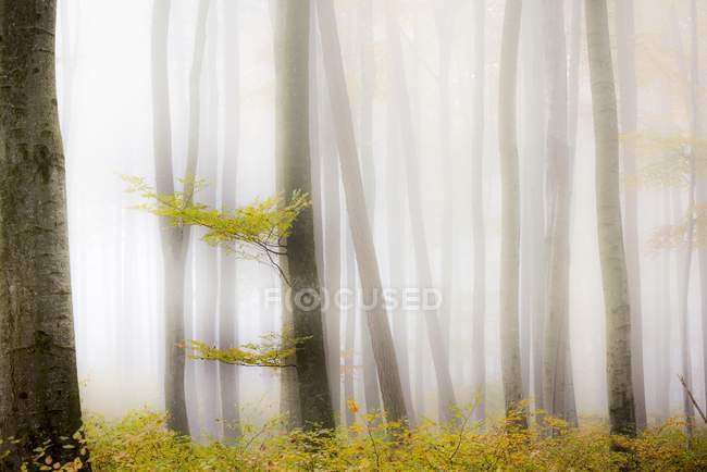 Green foliage in autumnal beech forest — Stock Photo