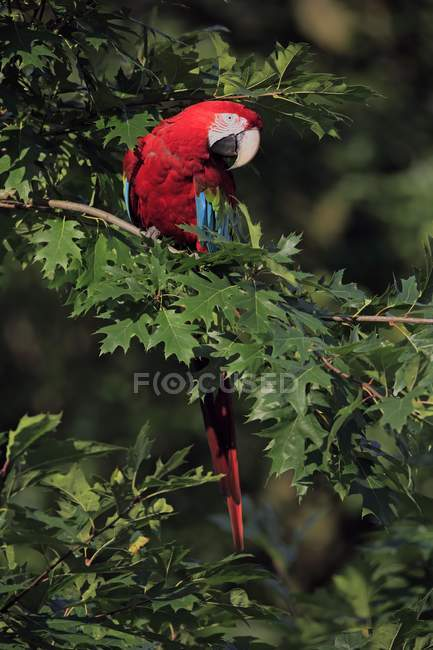 Macaw rosso-e-verde che si siede in fogliame verde dell'albero — Foto stock