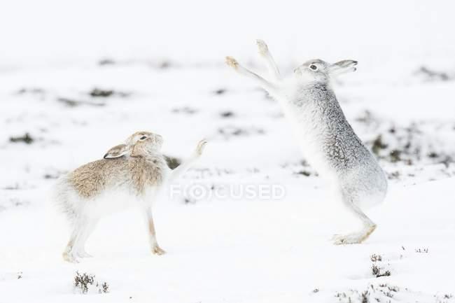 Гора зайца бои в снежный пейзаж — стоковое фото