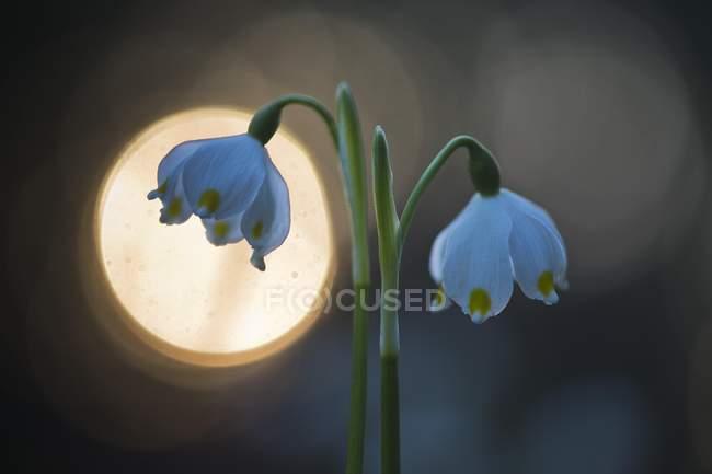 Весенние цветы снежинки с свет рефлекс — стоковое фото
