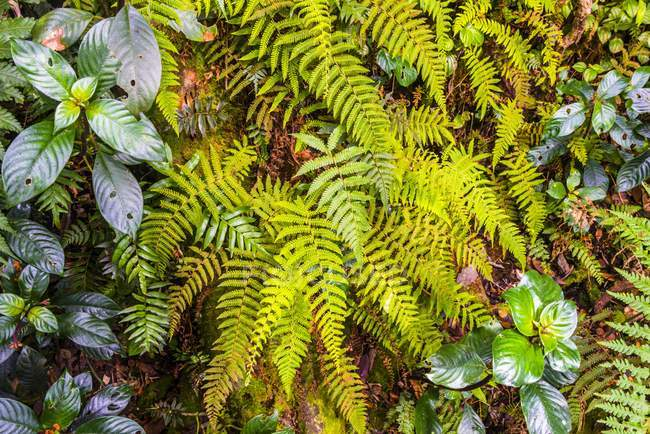 Close-up of green leaves of fern growing in rainforest — Stock Photo