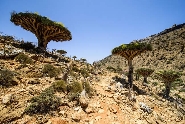 Сокотра дракон дерева на Homhil охороняється район, в Азії Сокотра, Ємен, — стокове фото