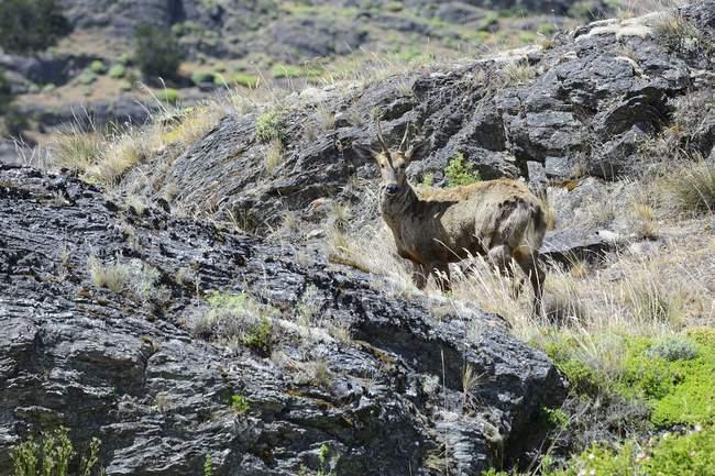 Bisulcus sud in ambiente roccioso in Cile, Sud America — Foto stock