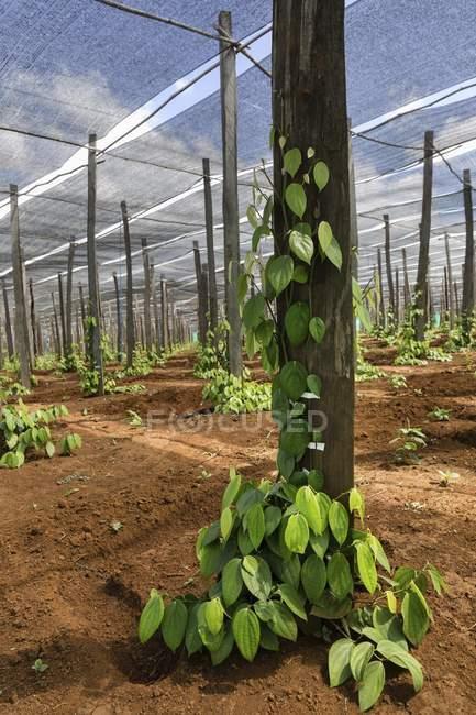 Piantagione di pepe in Sen Monorom città sulla provincia di Mondulkiri, Cambogia, Asia — Foto stock