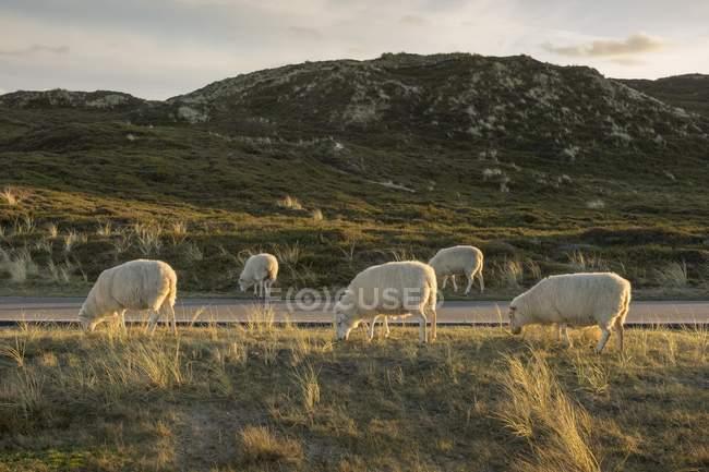 Pecore al pascolo a road in Frisia del Nord, Schleswig-Holstein, in Germania, Europa — Foto stock