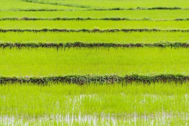 Campo di riso verde in Quang Nam, Vietnam, Asia — Foto stock