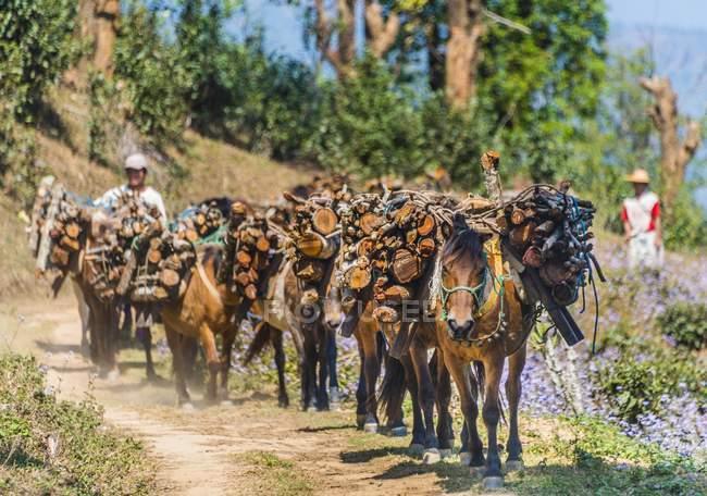 Cavalos carregando lenha com homens na aldeia de Palaung, Kyaukme, estado de Shan, Myanmar, Ásia — Fotografia de Stock