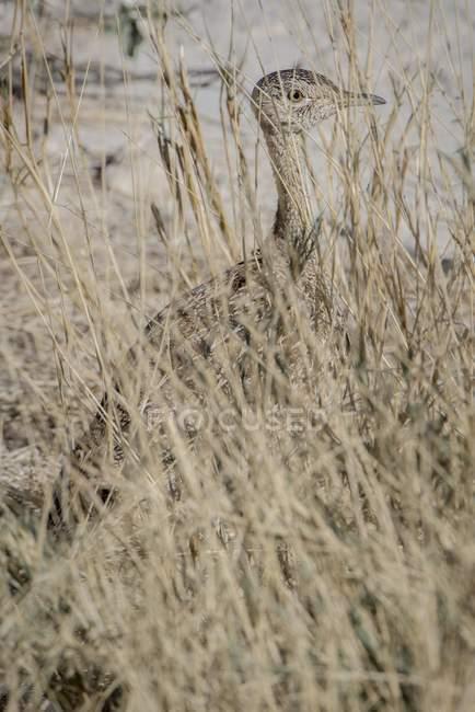 Птах Чорний білочеревий дрофа високої трави Національний парк Етоша, Намібія, Африка майже непомітне у — стокове фото