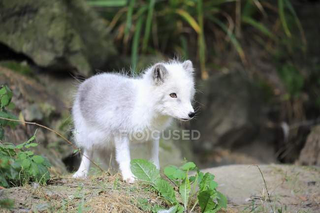 Детеныш песец охоты на основании зоопарк — стоковое фото
