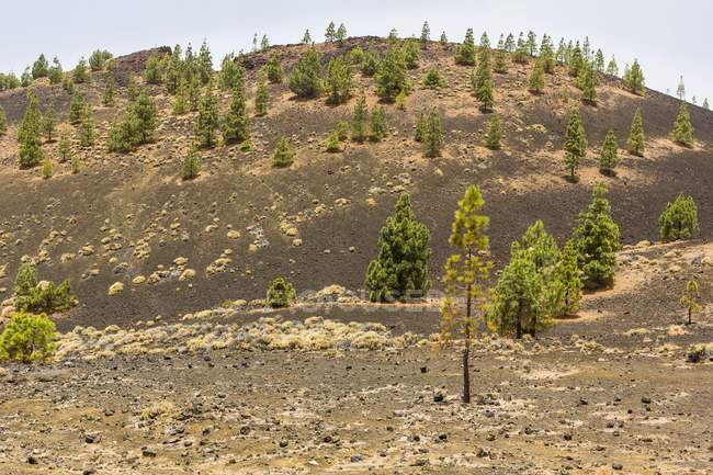 Canary Island pines in volcanic landscape in El Teide National Park, Spain, Europe — Stock Photo