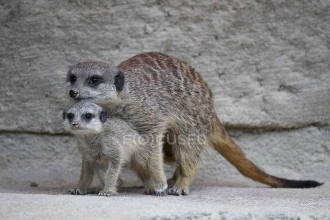 Protective meerkat with young animal standing on rocks — стоковое фото