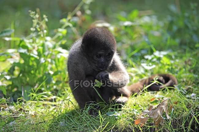 Macaco-barrigudo comendo na grama verde no jardim zoológico, close-up — Fotografia de Stock