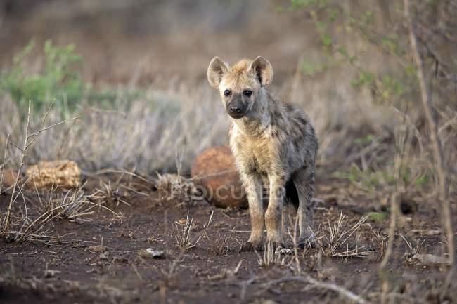 Hiena-malhada perseguindo no Prado, no Parque Nacional Kruger, África do Sul, África — Fotografia de Stock
