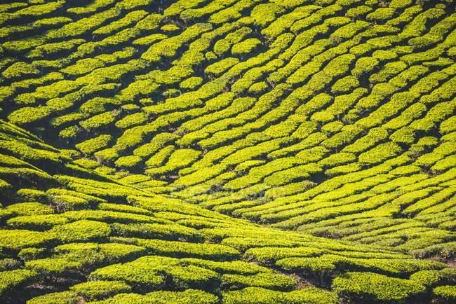 Reticolo naturale della piantagione di tè a Cameron Highlands, Pahang, Malaysia — Foto stock