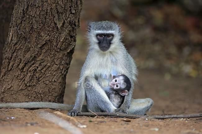 Мавпа vervet з baby тварин в Національний парк Крюгера, Південна Африка, Африка — стокове фото
