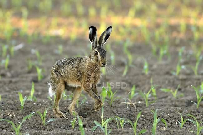 Заяц-русак между молодые растения в кукурузном поле — стоковое фото
